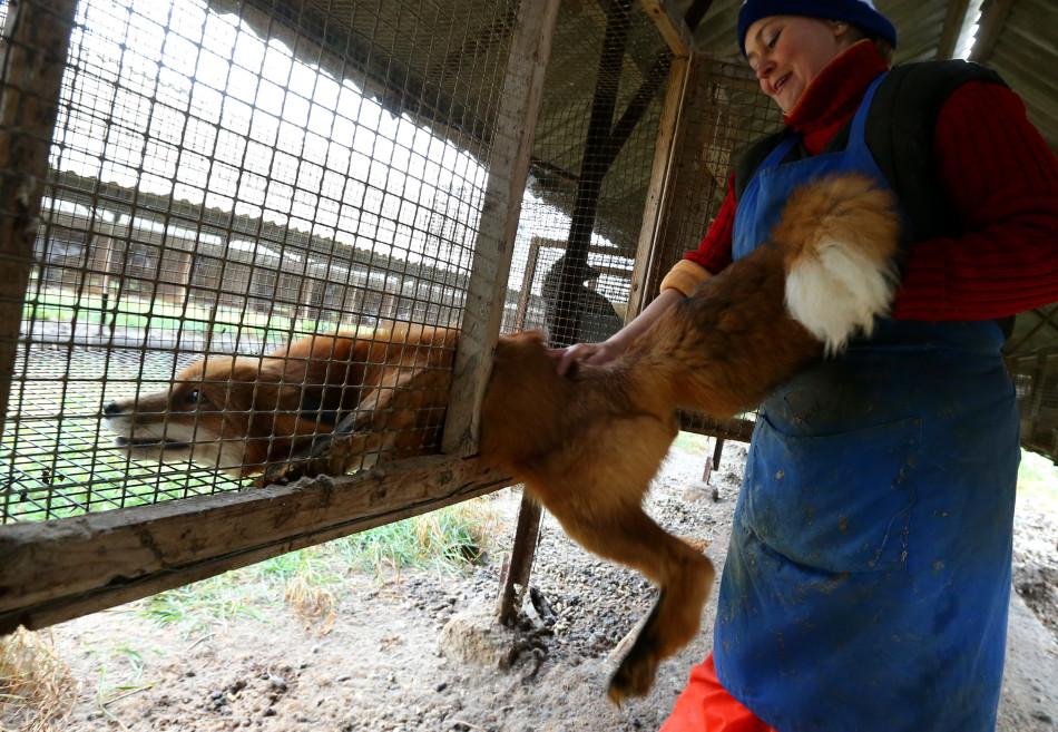 直击俄罗斯毛皮动物农场:可爱水貂将变外套