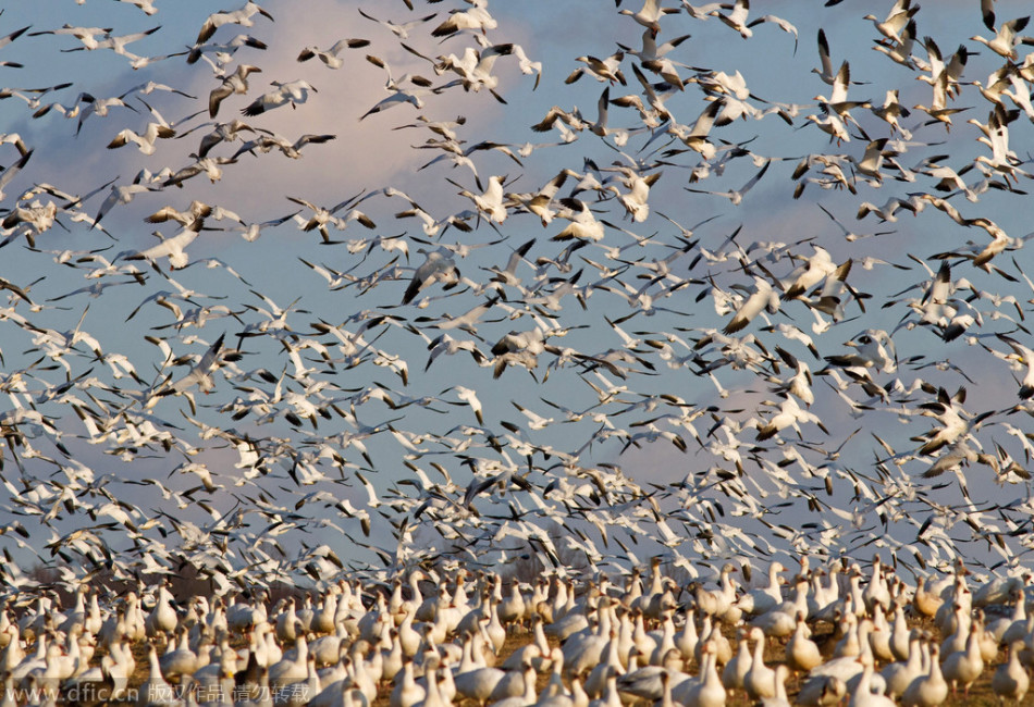 全球动物成群结队大迁徙:遮天盖地彰显野性