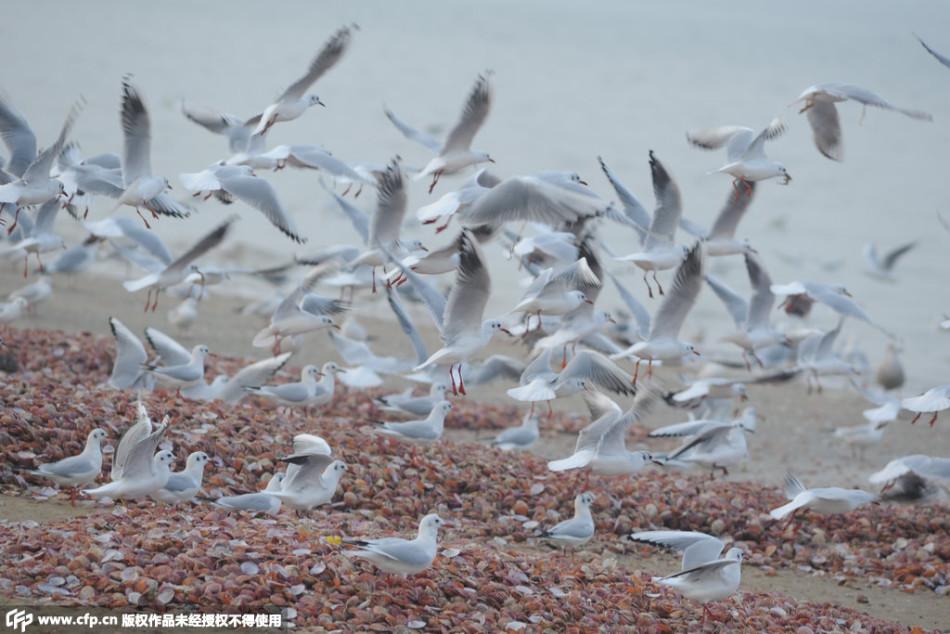 山东烟台上万海鸥争食残次扇贝场面壮观