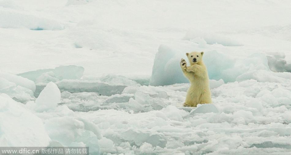 北极熊幼崽活泼好动卖萌:伸熊掌摆跳舞姿势
