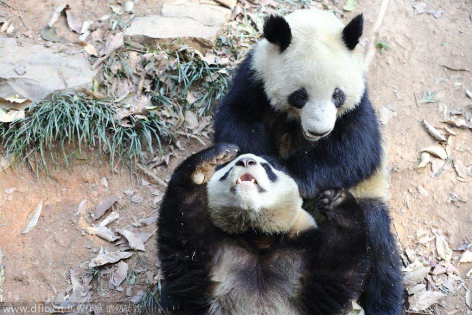 杭州动物园大熊猫扭打一团:倒立踢腿秒杀对手
