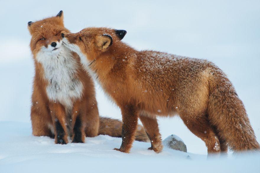 壁纸 动物 狐狸 桌面 880_587