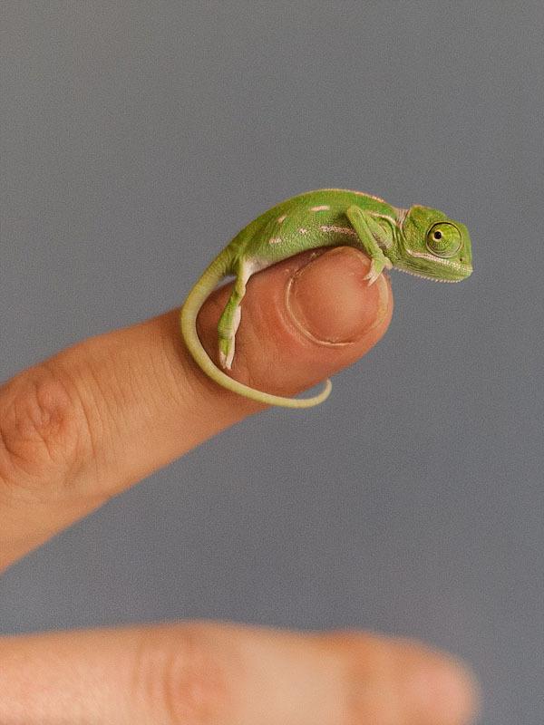 """指尖上的生灵:新生变色龙小如""""拇指姑娘"""""""
