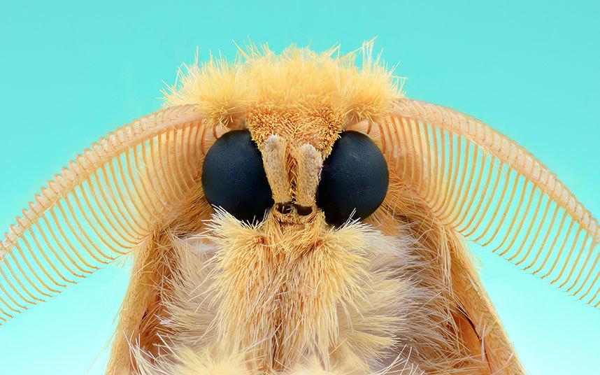 可以看到羽状的触角.蝴蝶的触角通常为棍棒状,而蛾类的触角则