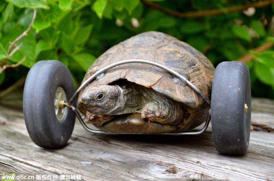 龟Mrs T在冬眠的时候被老鼠咬掉了两只前腿,前途一片黯淡,但它的