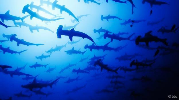 鲨鱼和鳐鱼的精彩世界:双髻鲨上演求偶舞蹈