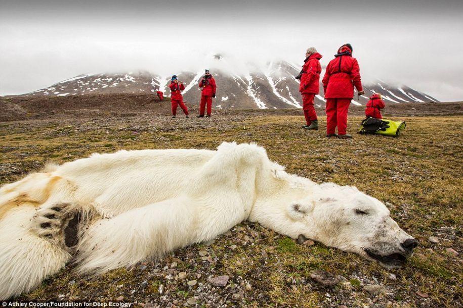 致人类正在毁灭的家园:北极熊被饿死