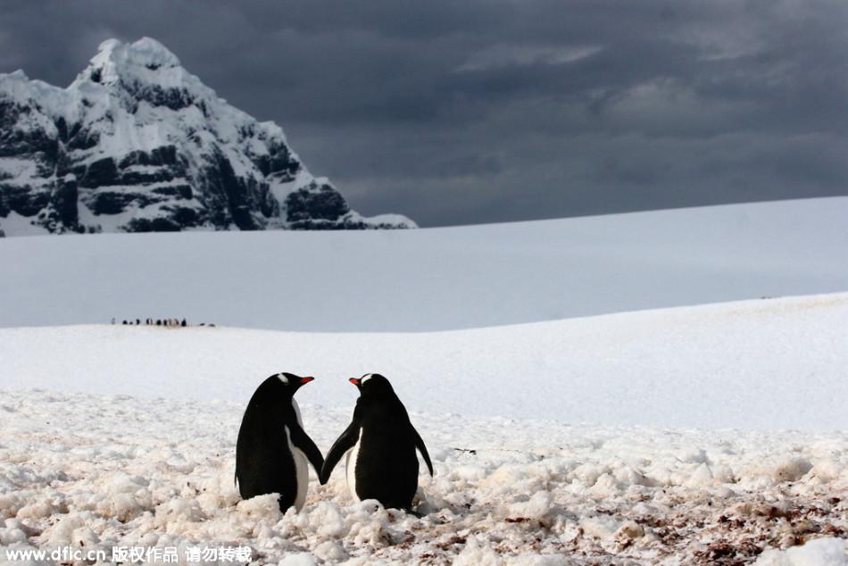 520动物也来晒恩爱:企鹅夫妇寒风中牵手