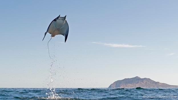 飞翔的鳐鱼