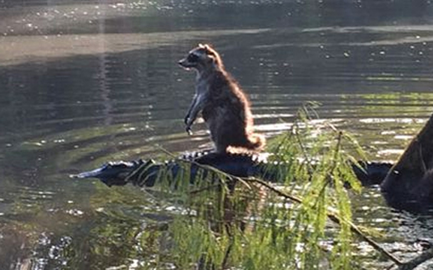 懒惰动物搭便车:最勇敢浣熊站鳄鱼背上过河