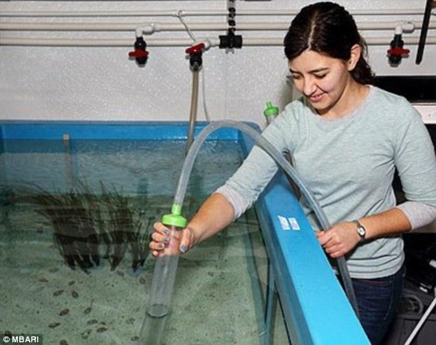 科学家捕获最可爱小章鱼:粉红色大眼萌萌哒