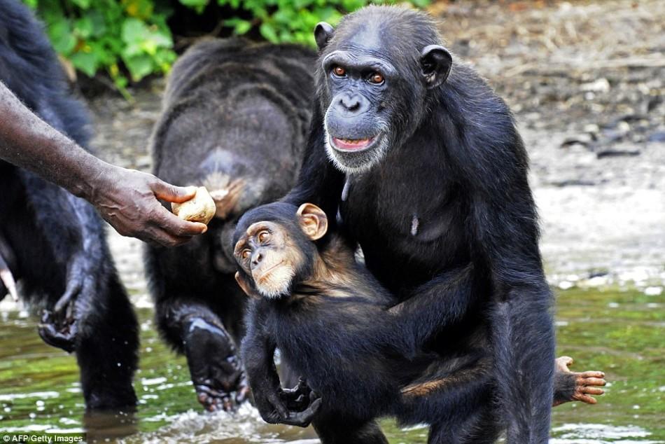拯救黑猩猩:病毒实验后被抛弃海岛