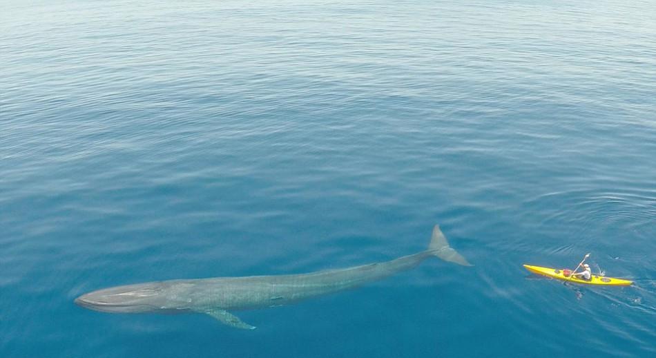 摄影师借无人机抓拍其与蓝鲸并肩齐游