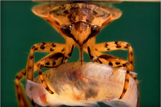凶猛负子蝽:前足似镰刀能捕食青蛙