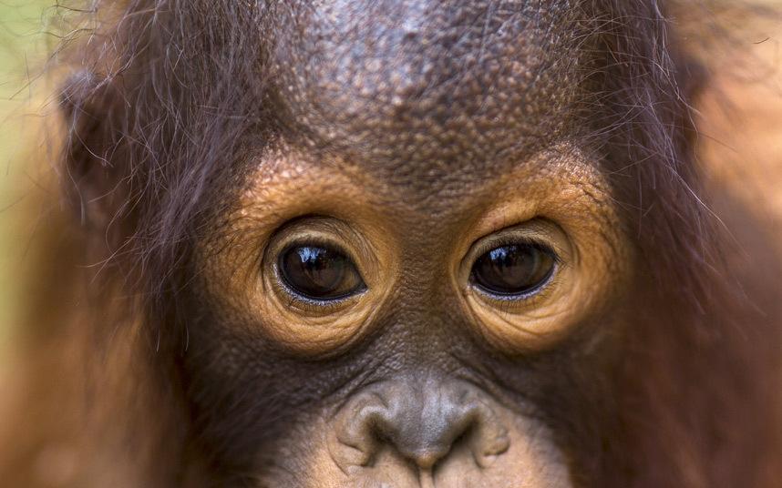 泰国计划遣送14只猩猩回印尼:大多没收自娱乐业