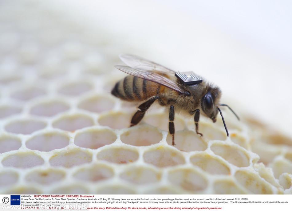 蜜蜂体验Inter芯片可穿戴设备:解决种群危机