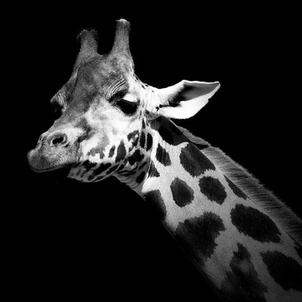 抛却色彩干扰去创作 凶猛动物的黑白肖像