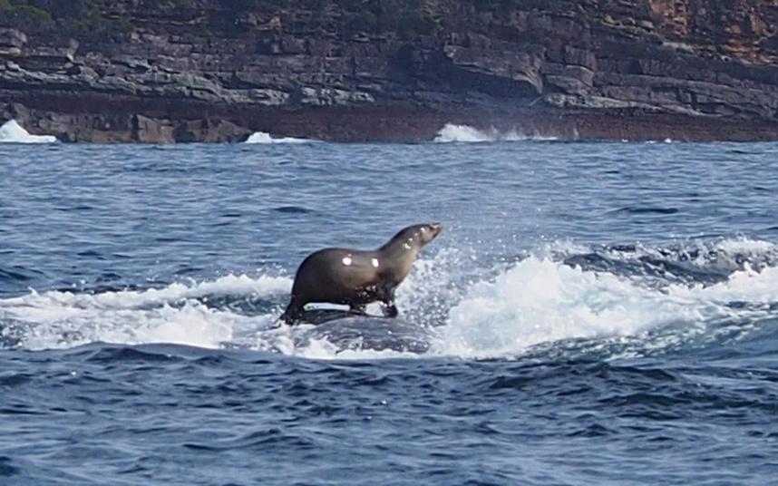 动物爱偷懒无事搭便车:海豹骑鲸鱼浣熊踩鳄鱼