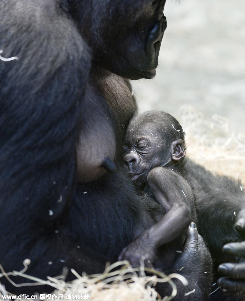美国动物园迎猩猩宝宝:妈妈怀里打哈欠萌萌哒