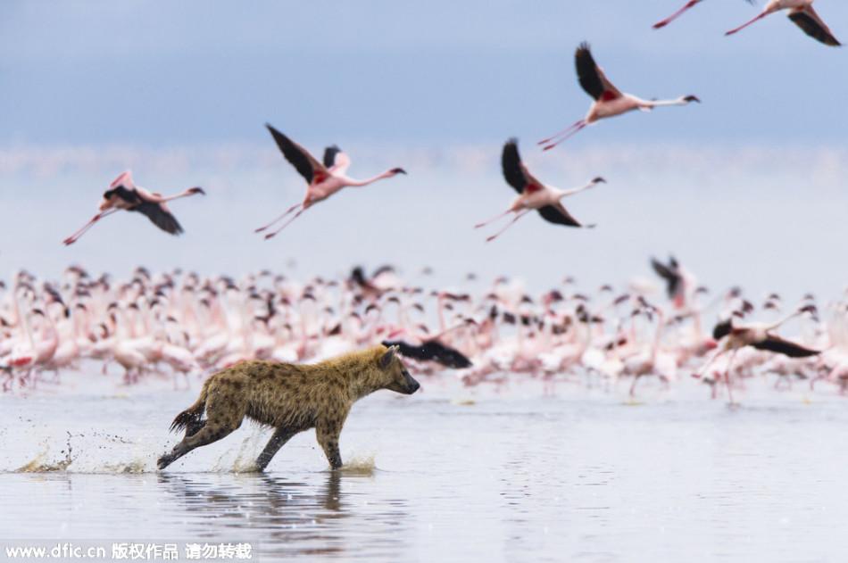 肯尼亚鬣狗捕食火烈鸟:假装打闹接近袭击