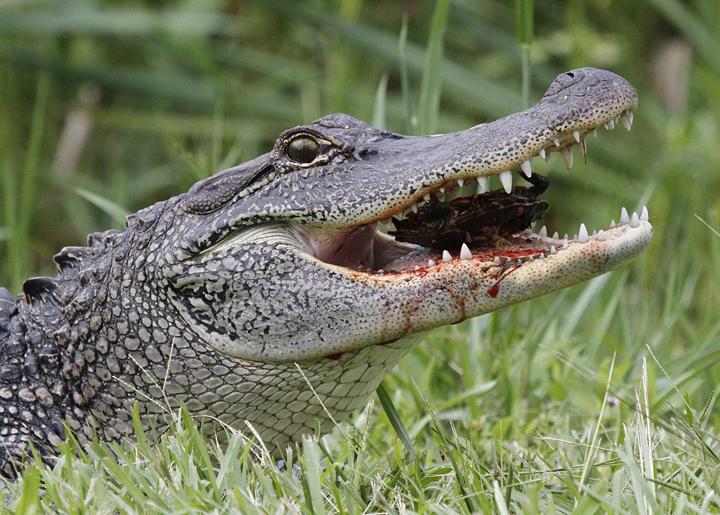 美饥饿短吻鳄吞食乌龟和蛇场面血腥