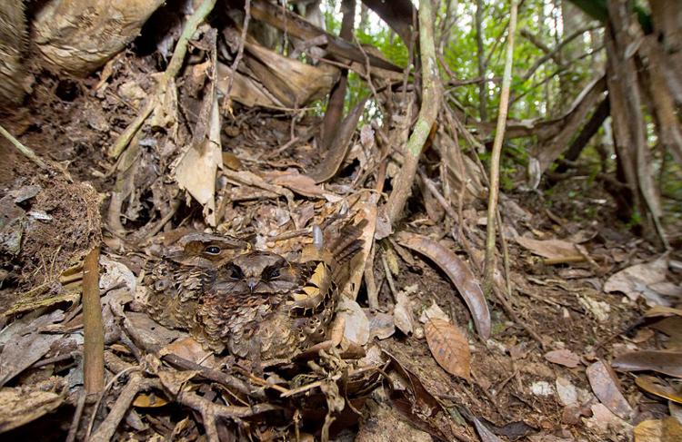 【环球网综合报道】物竞天择,适者生存。在自然界中,动物为求生存,要么会飞,要么会逃,要么会隐身。英国伦敦20岁的生物学学生山姆•罗利(Sam Rowley)2014年夏天在马达加斯加岛上捕捉到一些动物隐身在自然环境中的照片,让人不得不叹服动物的高超隐形术。