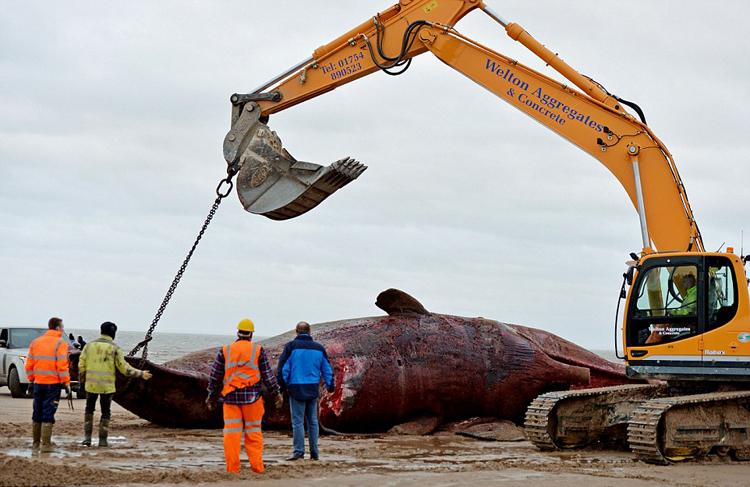 北欧鲸鱼死亡续:北海海滩再现8头抹香鲸尸体