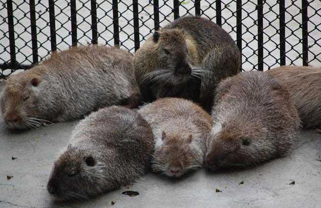 美国纽约发现罕见变异老鼠 身体全长60厘米
