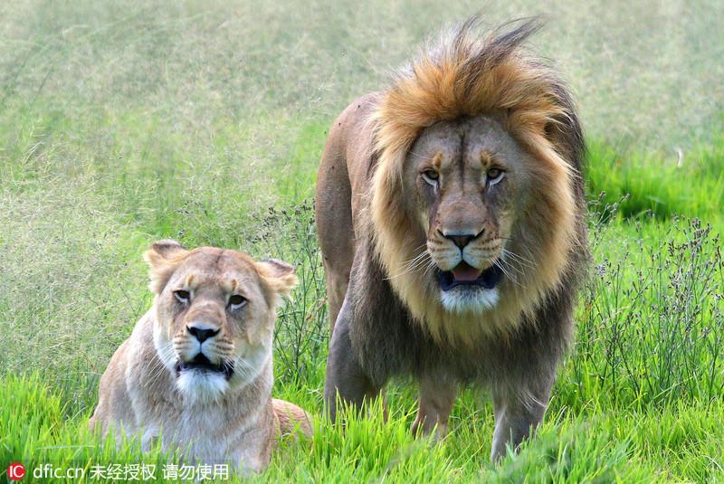 南非发情雄狮穷追母狮
