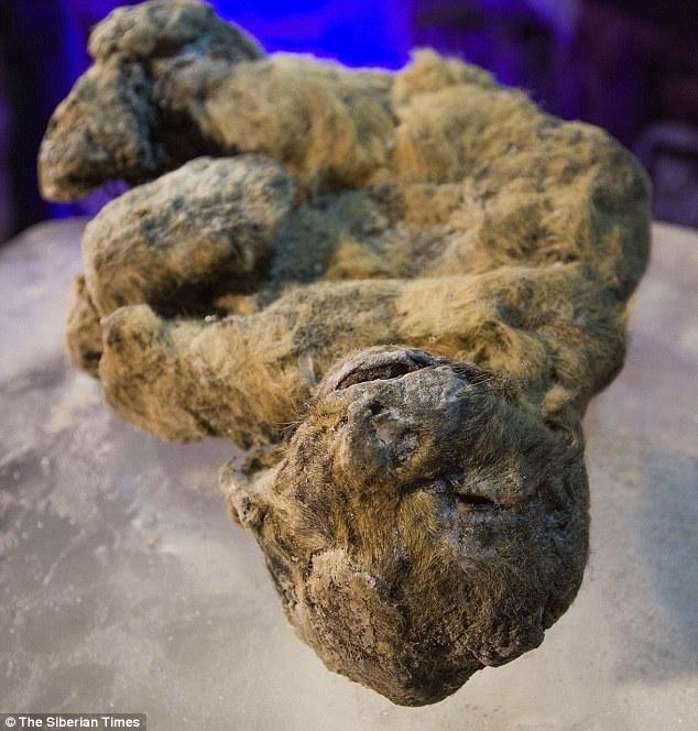 用克隆技术复活洞狮 距今12000年