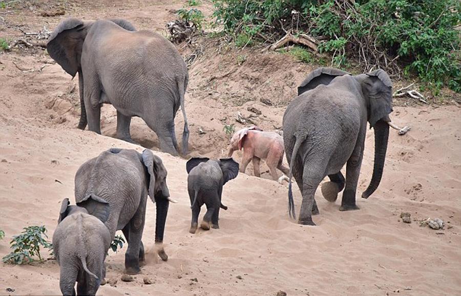 南非野生动物园发现罕见粉红色幼象