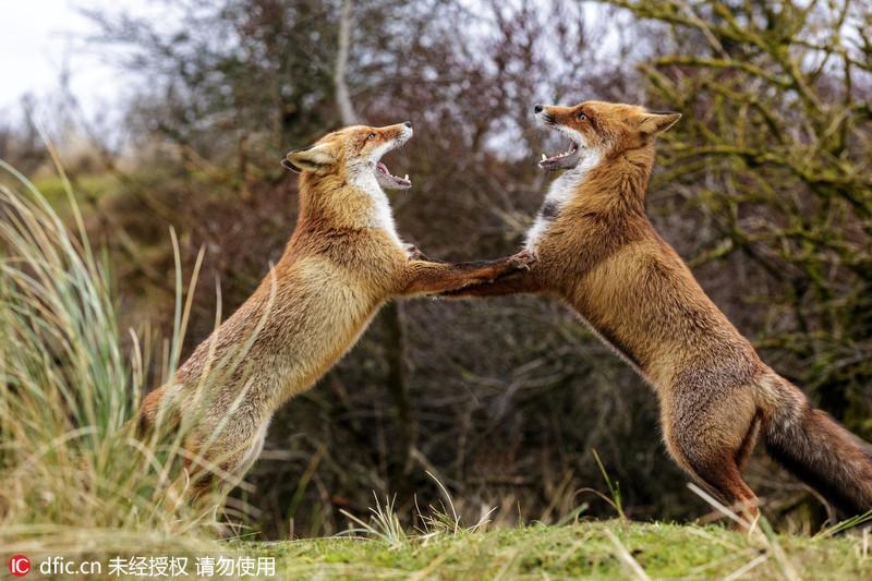 德国红狐狸手拉手跳起狐步舞
