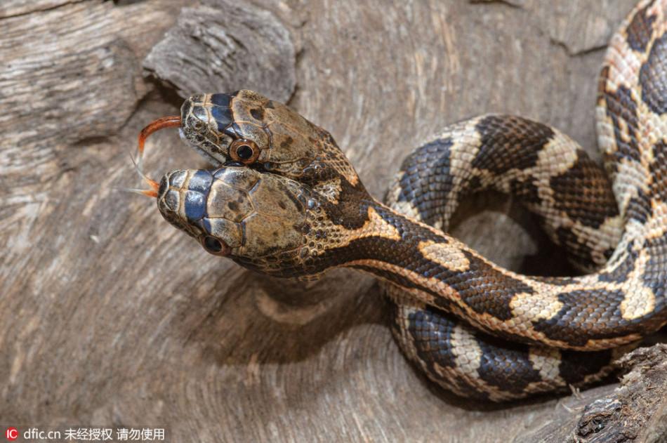 野外捕获罕见双头蛇:极富攻击性互相撕咬