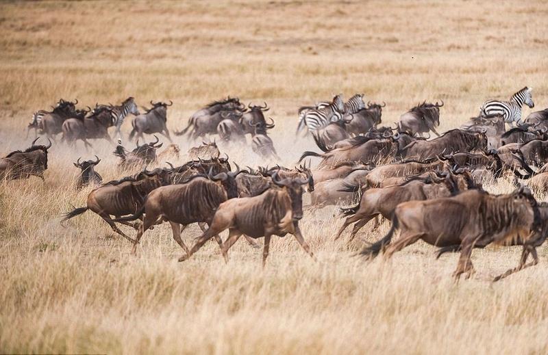 肯尼亚猎豹围追堵截角马群:成功捕猎美餐
