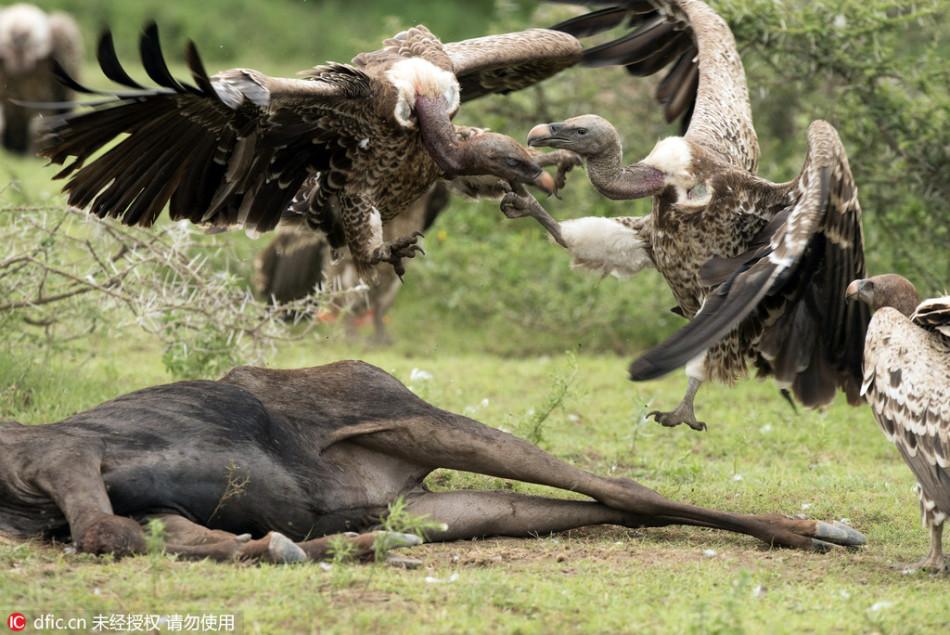 """坦桑尼亚数十只秃鹫""""打群架"""" 争夺动物腐尸"""