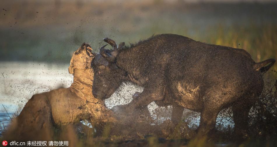 母水牛为护幼崽刺死狮子 : 奋起冲撞重创对手