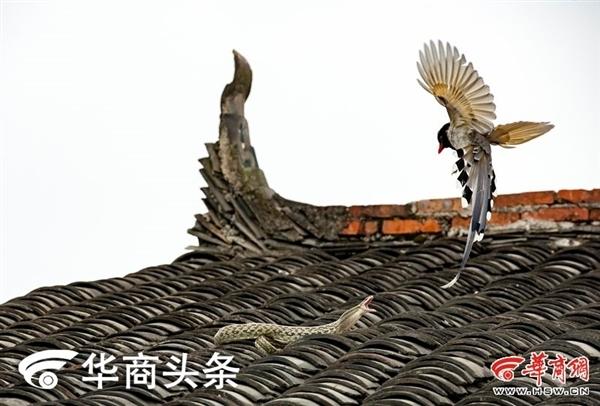 陕西农民屋顶上演蛇鸟大战结局意外