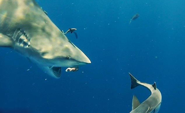 潜水员美国深海拍摄巨型鲨鱼场面惊心