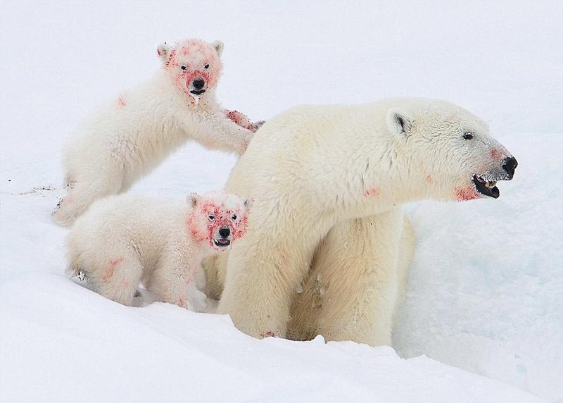 北极熊母子啃食海豹尸体 满脸染鲜血