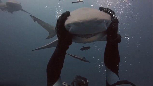 美潜水员不惧危险热情抚摸鲨鱼:似轻抚小狗