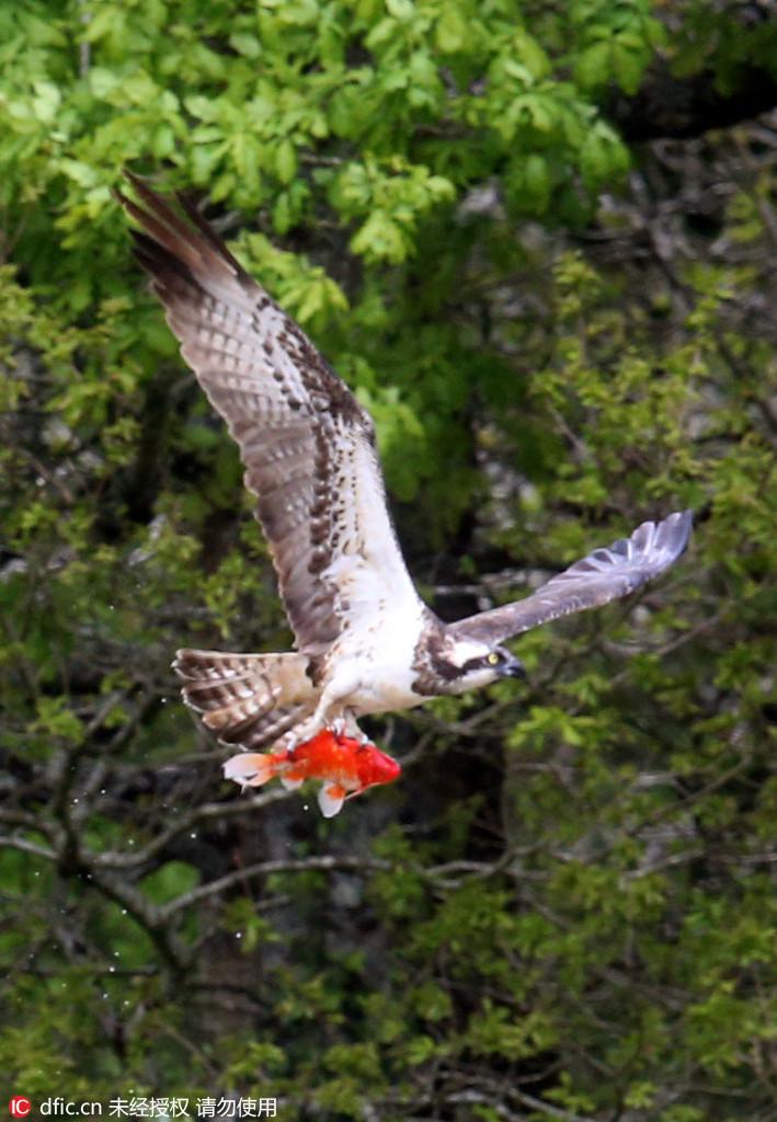 捕猎效率最高 帅气鱼鹰捕食金鱼