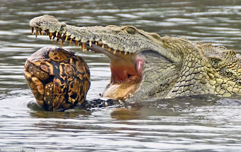 豹纹陆龟不幸落入鳄鱼口中:终被生吞