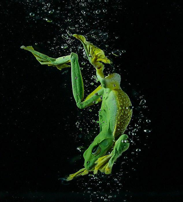 滑翔树蛙跳水游泳生动过程:优雅伸展四肢