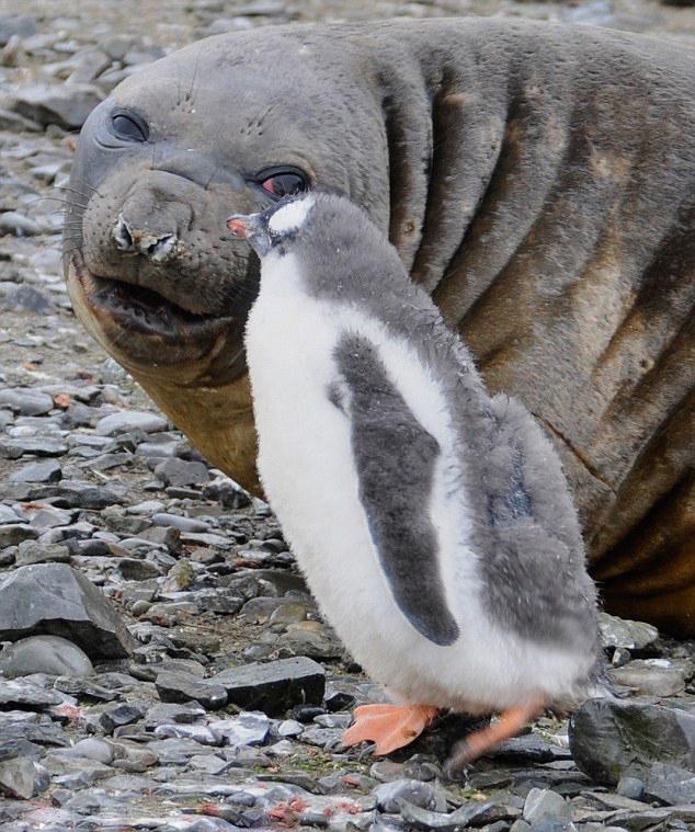 可爱!南极洲小海豹与小企鹅紧贴亲密无间
