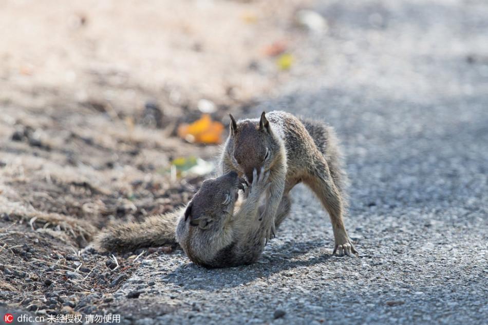 两只小松鼠大秀拳脚功夫 堪比成龙PK李连杰