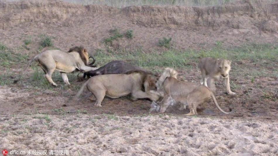 Mala野生动物保护区上演惊险一幕:一只掉队野牛被狮子扑倒在地,图片