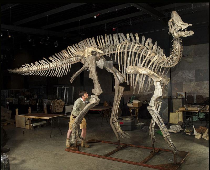 荷兰拍卖珍贵恐龙化石 鸭嘴龙骨架拍出百万