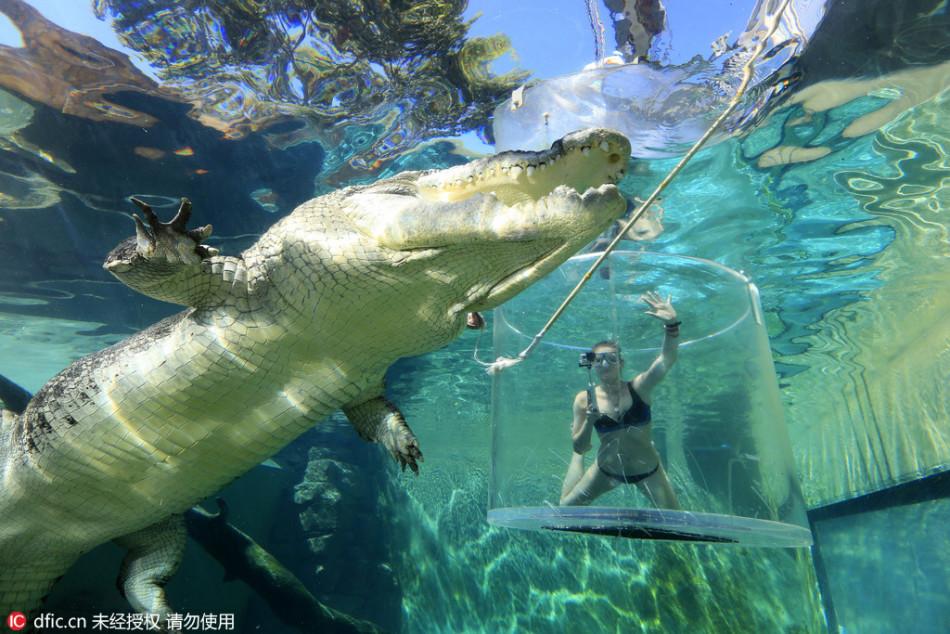 吓死!比基尼美女水下与巨鳄亲密接触