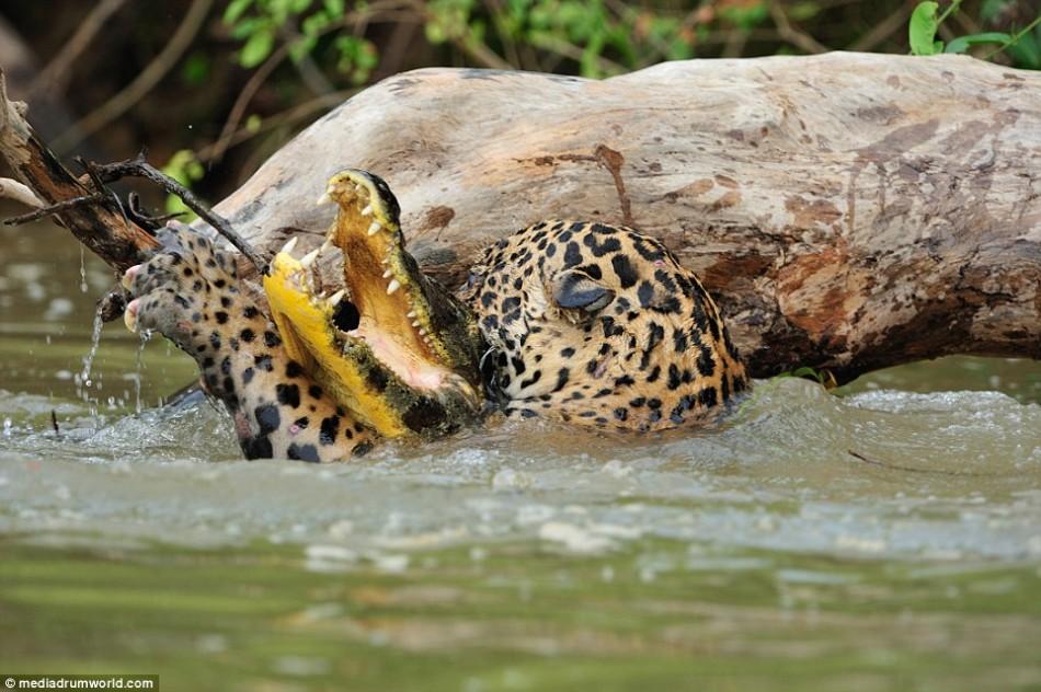 猎手变猎物:巴西美洲豹下水捕杀鳄鱼