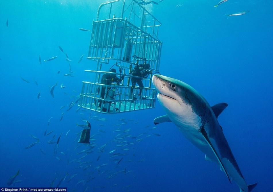 摄影师拍摄世界各海域大白鲨:最长达6米